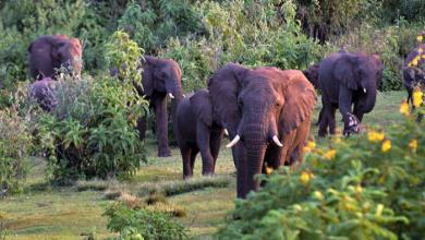 Photo of نفوق 55 فيلا بسبب الجوع والعطش في زيمبابوي